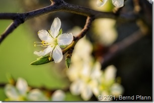 Apfelblüte mit Orton-Effekt